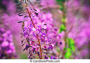 Blooming Willow-herb meadow Chamerion Angustifolium,...