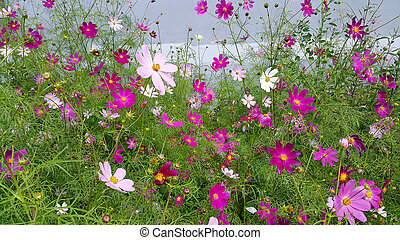 Beautiful Cosmos flowers summer background