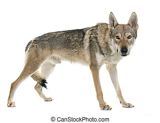 czechoslovakian wolf dog in front of white background