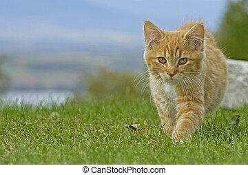 Tabby Kiten walking on grass - Ginger tabby Kitten walking...