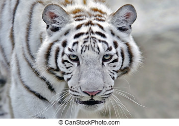 White Bengal Tiger Indian Tiger walking, closeup - Head of...