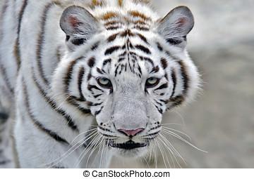 White Bengal Tiger / Indian Tiger walking, closeup - Head of...