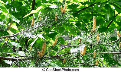 Blossom of lush green pine tree branch blown by breeze -...