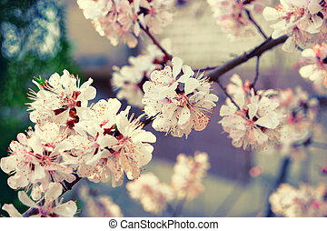 Beautiful pink plum flowers in spring on branch closeup