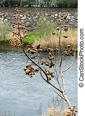 Tree Full of Dried Seed Pods along the Sarca River in Arco Trentino Italy