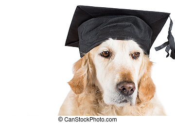 Golden Retriever with graduation cap