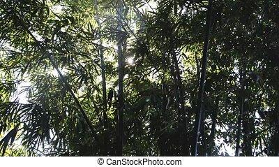 bamboo tree - ray of light on the bamboo tree