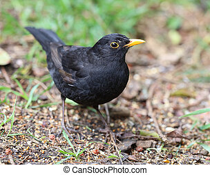 Male Blackbird - Close up of a male Blackbird