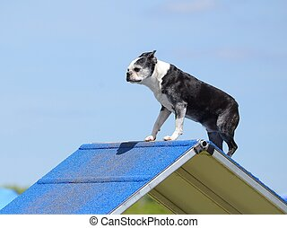 Boston Terrier at Dog Agility Trial - Boston Terrier...