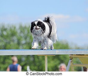 Japanese Chin at a Dog Agility Trial