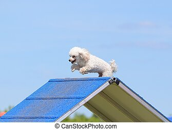 Toy Poodle at a Dog Agility Trial - Toy Poodle Climbing Over...
