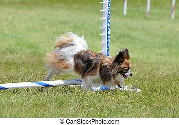 Papillon at a Dog Agility Trial