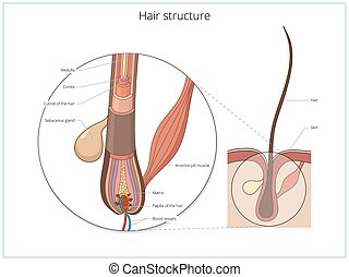 Hair structure medical educational vector - Hair structure...