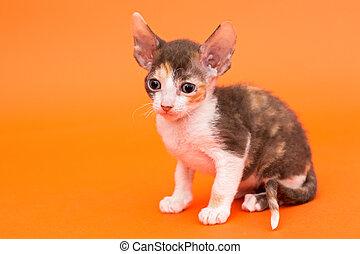 Kitten Cornish Rex