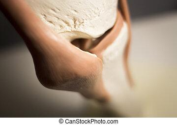 Knee joint meniscus tendon model - Knee joints meniscus...