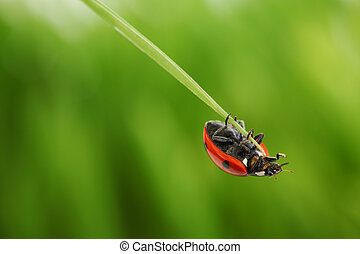 ladybug on grass green on background