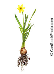 Daffodil plant isolated