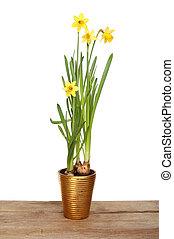 Daffodil plant on a board