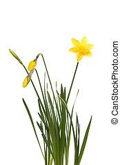 Tete A Tete daffodil plant