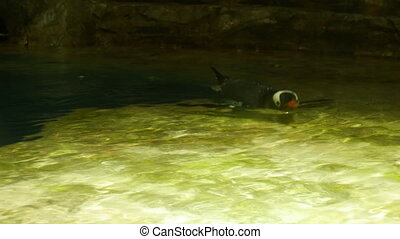 Penguin floats on the water surface