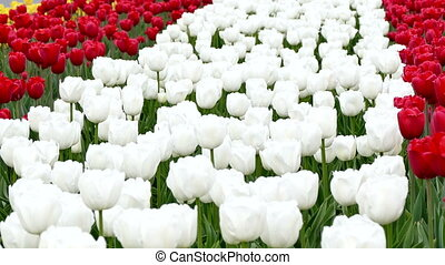 Flowering White Tulips in the Flowerbed
