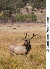 Bull Elk - a bull elk during the fall rut