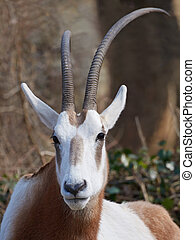 Scimitar-horned oryx Oryx dammah - Closeup portrait of the...