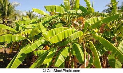banana trees house Nicaragua - Nicaragua banana trees pan to...