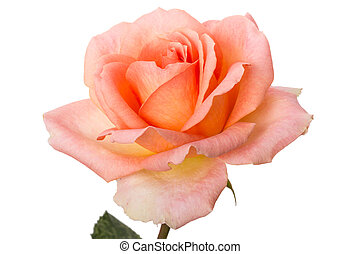 Pale pink rose  isolated on a white background