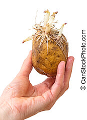 Sprouting potatoes in hand