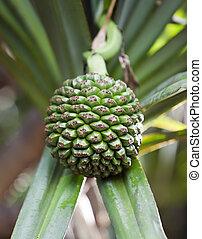 Common Screwpine (Pandanus utilis)