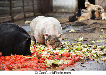 pigs  in  zoo