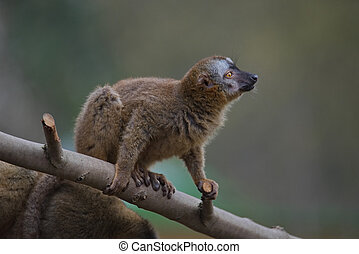 Red Fronted Lemur at the open resort, Magdeburg, Germany,...