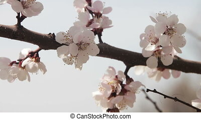 Apricot Flower Blooming in Spring - Apricot Flower Blooming...