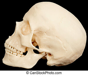 Human skull on black background in profile - The human skull...