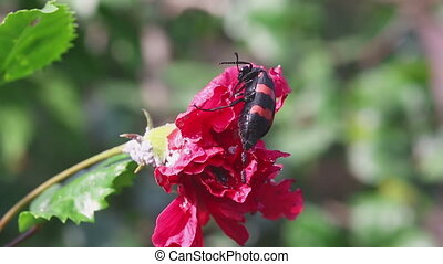 African Blister beetle eating petals of Hibiscus flower