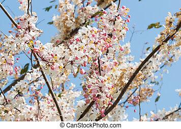 Cassia bakeriana, Flower blossom, Pink shower blossom