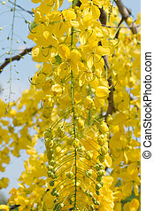 Cassia fistula - Golden shower tree, Golden Rain Tree,...