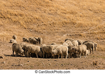 flock of grazing merino sheep on arid slope