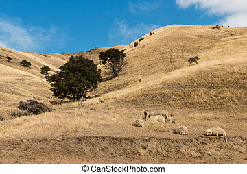 merino sheep resting on dry hill - flock of merino sheep...