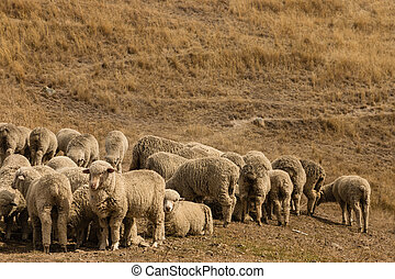 flock of merino sheep - flock of grazing merino sheep