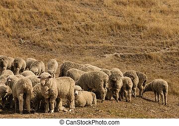 flock of merino sheep - flock of grazing merino sheep