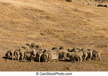 merino sheep on grassy slope - herd of merino sheep on...