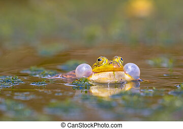 Croaking Pool frog (Pelophylax lessonae) in a fen with lots...