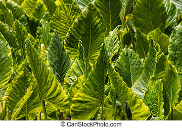taro plant plantation - closeup of taro leaves