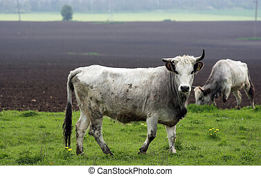 cattle -  Bulgarian gray cattle out at feed