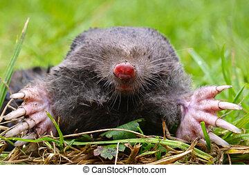 Mole Head - Close up of a European Mole Talpa Europaea with...