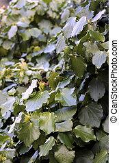 Kawakawa Piper excelsum