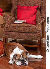 Bulldog resting near a chair