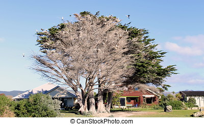Pied Shags nesting in a Macrocarpa Tree